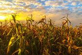 Fourrés de maïs au coucher du soleil — Photo