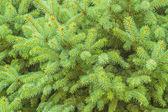 Pine — Foto de Stock