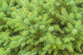 Pine — Photo