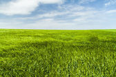 Green sea of wheat — Stock Photo