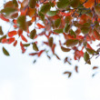 Green and red leaves in autumn — Stock Photo