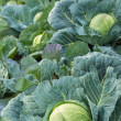 Young green head of cabbage — Stock Photo
