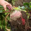 Hand dragging young beetroot - Stock Photo