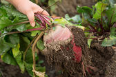 Hand dragging young beetroot — Stock Photo