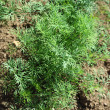 Young dill growing on soil — Stock Photo