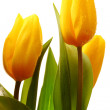Three yellow spring tulips — Stock Photo