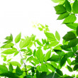 Green leaves on white background — Stock Photo #29296373