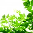 Green leaves on white background — Stock Photo #29358619