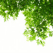 Green leaves on white background — Stock Photo #29358669
