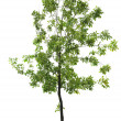 Green ash tree — Stock Photo
