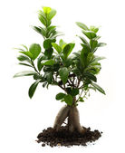 Ficus ginseng with soil — Stock Photo