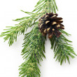 Twig of evergreen fir — Stock Photo