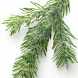 Stock Photo: Twig of evergreen fir