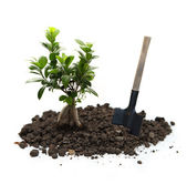 Ficus with soil and shovel — Stock Photo