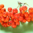 Stock Photo: Red ashberry bunch