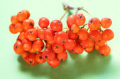 Red ashberry bunch — Stock Photo