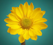 Yellow flower with drops on aquamarine background. — Stock Photo
