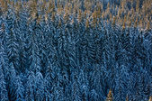 Conifer forest in winter. — Stock Photo