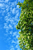 Blooming chestnut tree against the sky. — Stock Photo
