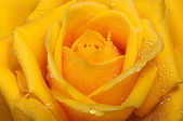 Yellow rose with drops. — Stock Photo