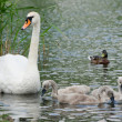 Swan with chicks and a duck in water. — Stock Photo