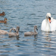 Swan with chicks and a ducks. — Stock Photo