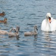 Swan with chicks and a ducks. — Stock Photo #33537913