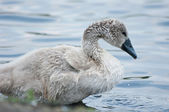 Chick swan. — Stock Photo