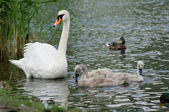 Swan and chicks. — Stock Photo