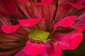 Stink bug — Stock Photo
