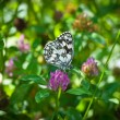 Butterfly collecting pollen — Stock Photo #18786505