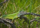Zelená ještěrka v trávě — Stock fotografie