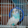 Stock Photo: Parakeet posing