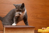 Cat playing with a plush mouse on the table — Stock Photo