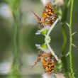 Butterfly on flowers and reflection — Stock Photo
