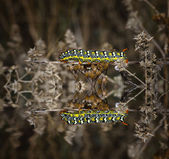 Caterpillar resting on a branch and reflection — Stock Photo