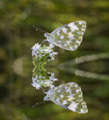 Butterfly on flowers and reflection — 图库照片