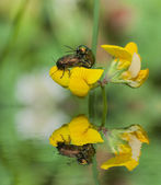 Two insects mating on flowers and reflection — Stock Photo