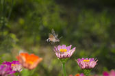 Butterfly hummingbird collects pollen — Stockfoto
