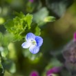 Small blue flower — Stock Photo #43136869