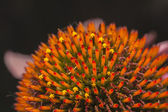 Echinacea purpurea,  details of the flowers — Stock Photo