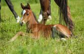 Young foal — Stock Photo