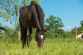 Betande häst — Stockfoto