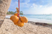Cluster of king coconut hanging from palm tree — Stock Photo