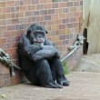 Stock Photo: Zoo Chimp Sits Alone in Contemplation