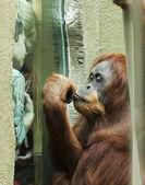 An Orangutan Fascinates a Pair of Boys — Stock Photo