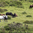 Stock Photo: Herd of Dartmoor Ponies, Devon, England