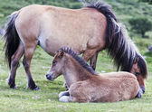 A Dartmoor Pony Mare and Foal, Devon, England — Stock Photo