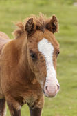 A Dartmoor Pony Foal, Devon, England — Stock Photo