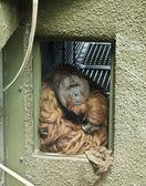 Ein orang-utan starrt raus aus seinem gehäuse-eintritt — Stockfoto